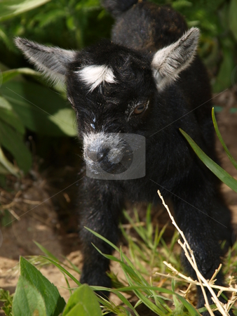 Baby Black Goat stock photo, Color image of a black baby goat. by Michael Rice