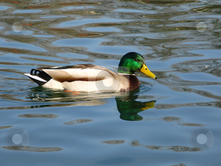Duck on the lake stock photo, Duck on the lake by Mihai Zaharia