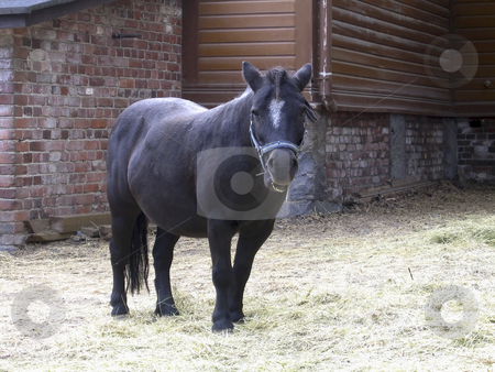 Black pony stock photo, A black pony outside a stable by Alessandro Rizzolli
