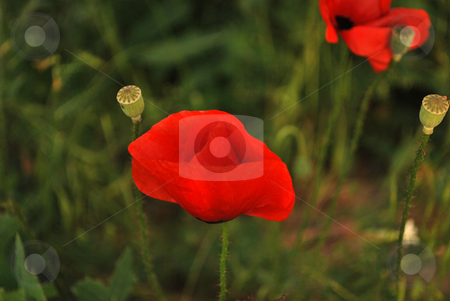 Red Poppies stock photo, Close up of two poppies growing in a field by Tudor Antonel adrian