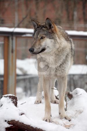 Wolf stock photo,  by Mikhail Egorov