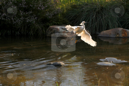Snowy Egret Flying Out of Water stock photo, Beautiful Snowy Egret Flying Out of Water by Katrina Brown
