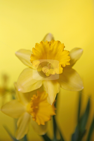 Yellow Daffodil With Extreme Depth of Field stock photo, Daffodil With Extreme Depth of Field by Katrina Brown