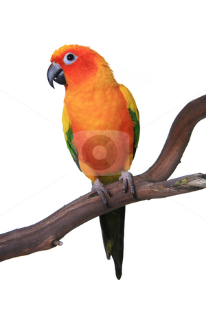 Cute Sun Conure Parrot Sitting on a Wooden Perch stock photo, Cute Sun Conure Parrot Sitting on a Wooden Perch Against White Background by Katrina Brown