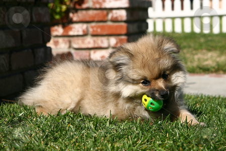 Pomeranian Puppy Playing stock photo, Pomeranian Puppy Playing With a Ball Outdoors in the Grass by Katrina Brown