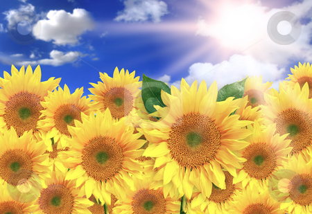 Bright Yellow Sunflowers on a Beautiful Sunny Day stock photo, Bright Sunflowers on a Beautiful Sunny Day by Katrina Brown