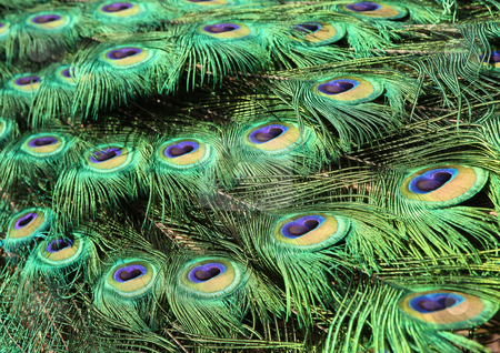Bright Colorful Peacock Feathers stock photo, Bright Colorful Peacock Feathers in the Bright Sun by Katrina Brown