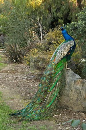Peacock Male Bird Posing stock photo, Peacock Male Bird Posing on a Rock by Katrina Brown