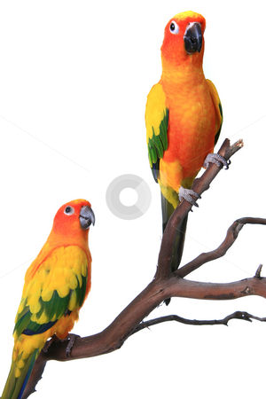 2 Sun Conure Parrots on a Natural Branch stock photo, 2 Sun Conure Parrots on a Natural Branch Perch With White Background by Katrina Brown