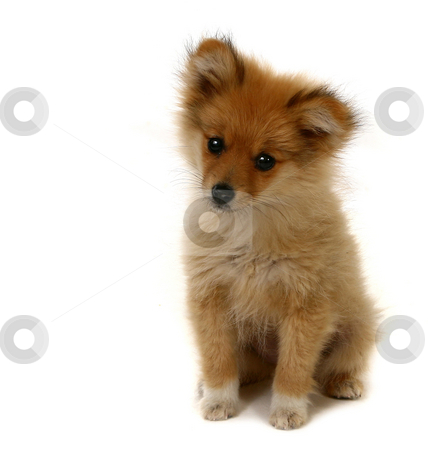 Adorable Looking Pomeranian Puppy stock photo, Sweet Looking Pomeranian Puppy on White With Copy Space by Katrina Brown