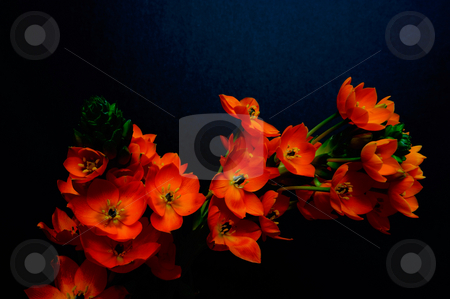 Sun Star - orange perennial flower stock photo, Chesapeake Series Star-of-BethlehemBotanical Name: Ornithogalum 'Chesapeake Blaze', 'Chesapeake Sunburst', and 'Chesapeake Sunset' on a dark background by Lynn Bendickson