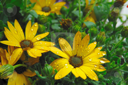 Yellow Flowers And Raindrops stock photo, Closeup of bright yellow flowers with water droplets on the petals of the flower. by Lynn Bendickson