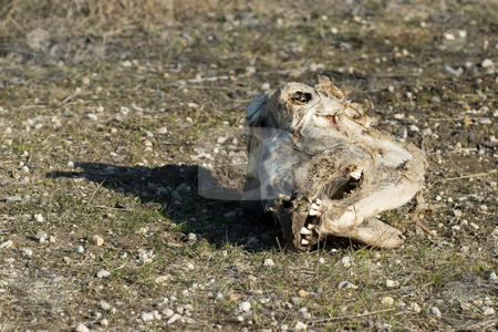 Horse Skull stock photo, A decayed horse skull lying in the dirt by Richard Nelson