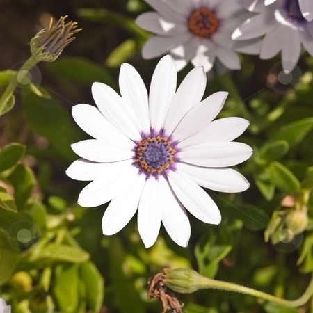 Bellis perennis stock photo, Bellis perennis is a common European species of Daisy, often considered the archetypal species of that name. Many related plants also share the name