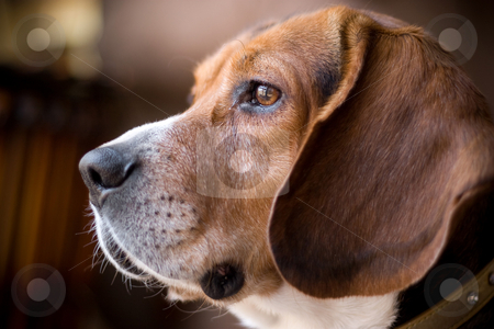 Fine Looking Beagle stock photo, Portrait of a handsome young beagle dog.  Shallow depth of field. by Todd Arena