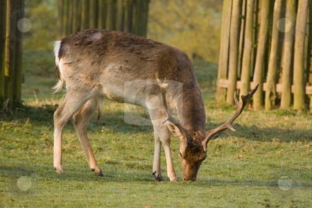 Deer stock photo, Deer in a wood land park by Stephen Mcnally