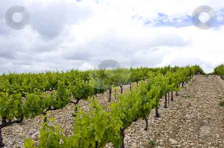 Vineyard stock photo, Vineyard on an overcast day in the Cote du Rhone region, France by Corepics VOF