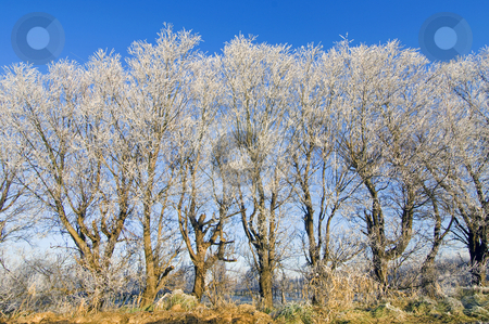Hoarfrost trees stock photo, A row of hoar frosted trees surrounding an apple orchard by Corepics VOF