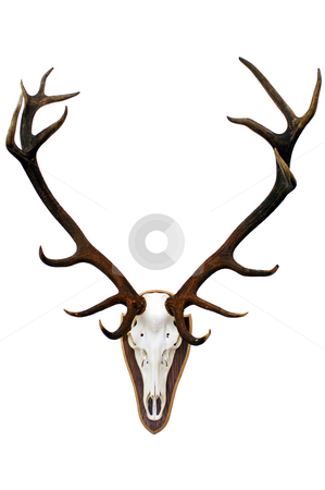 Stag skull and antlers stock photo, The imposing 15 point antlers of a huge stag, mounted on a wooden plate by Corepics VOF