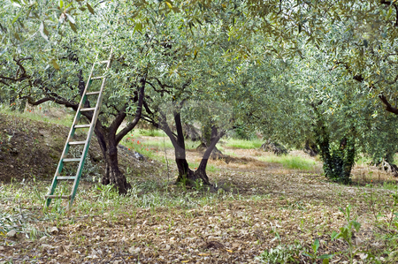 Olive Orchard stock photo, Pruning season in an olive orchard in the Vaucluse, South of France by Corepics VOF