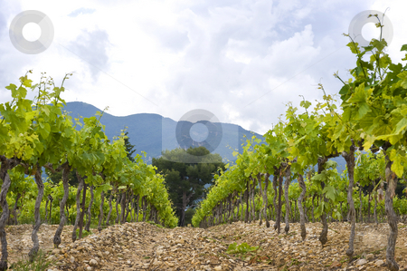 Vineyard stock photo, The neatly aligned grape vines in a vineyard in the Cote du Rhone, South of France, by Corepics VOF