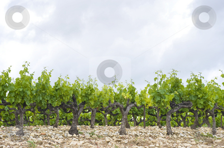 Vineyard stock photo, The neatly aligned rows of grape vines in a vineyard in the Cote du Rhone region, France by Corepics VOF