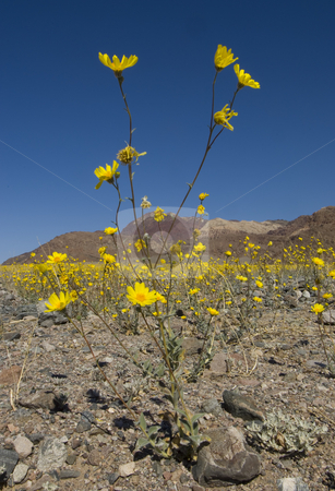 Death Valley Wildflowers stock photo, The Death Valley desert in bloom on a bright clear day (PL filter used) by Corepics VOF