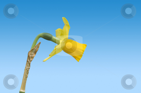 Spring stock photo, Spring theme: a singled out daffodil with clipping path by Corepics VOF