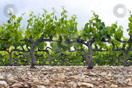Vineyard stock photo, The neatly kept and gardened grape vines in a vineyard in the Cote du Rhone, South of France by Corepics VOF