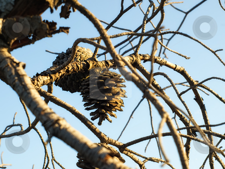 Pine galls stock photo, Close up of dried pine galls under  blue sky by Sinisa Botas