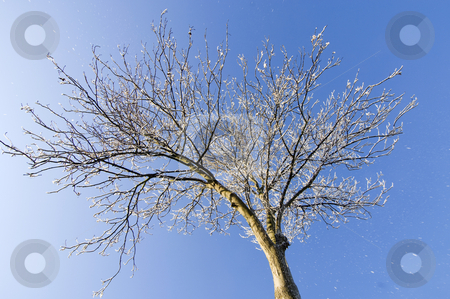 Thawing Hoarfrost stock photo, Hoarfrost falling from a tree: Thaw settling in. by Corepics VOF