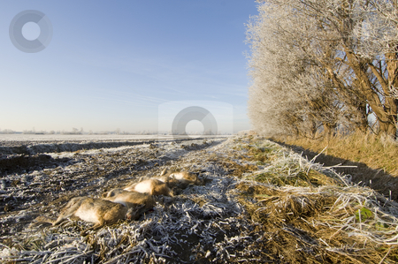 Winter scene with dead hares stock photo, Dead hares aligned in a winter scene by Corepics VOF