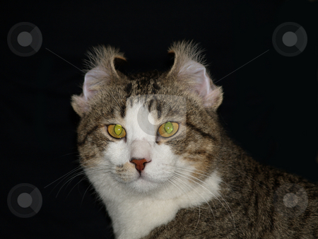 Cat 11 stock photo, Funny handsome cat with folded ears by Jose .