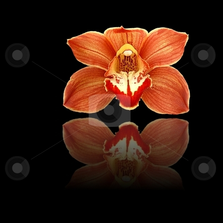 Red Reflection stock photo, Red and orange orchid on black background with reflection. by Henrik Lehnerer