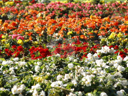 Flora 09 stock photo, White and red flowers planted in rows by Jose .