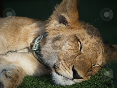 Lion 01 stock photo, Young lion taking a nap by Jose .