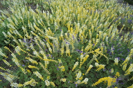 Yellow Lupin stock photo, Field of lupine flowers with other purple wildflowers mixed in. by Lynn Bendickson