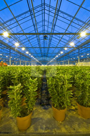 Rows of lilies in a glasshouse stock photo, Endless rows of potted lilies in a glasshouse, with a ventilator for climate control attached to one of the roof girders by Corepics VOF