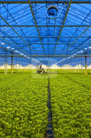 Glasshouse transportation stock photo, A forklift transporting a tray with potted lilies through a huge glasshouse at dusk by Corepics VOF
