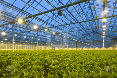 Lilies Horticulture stock photo, A glasshouse growing endless rows of lilies at dusk by Corepics VOF