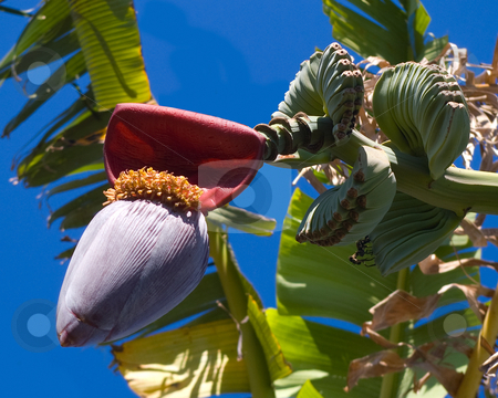Tropical fruit stock photo, A banana tree about to bloom by Steve Carroll
