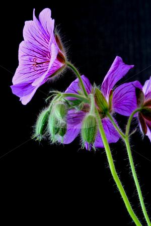 Garden geranium (Ger. ? magnificum)   stock photo, Geranium veins blossom bloom petal green purple blue garden plant stamp stem green leaf by Manuela Schueler