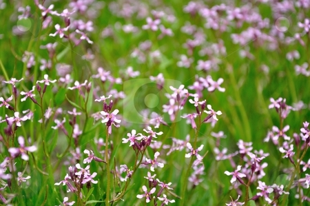 Little Purple Wildflowers stock photo, Purple wildflowers fill a green field. by Ben O'Neal