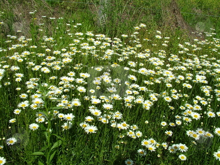 Lawn Daisies stock photo, This section of Lawn or Common Daisies decorates the country roadside, with their white ray and yellow disc florets. Often these pleasant wildflowers are considered as weeds because they are not affected by mowing. by Krystal McCammon