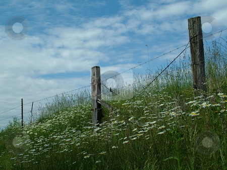 Daisies and Blue Skies stock photo, Wild daisies flaunting their beauty in front of an old wooden fence with a glorious blue sky and beautiful white clouds. by Krystal McCammon