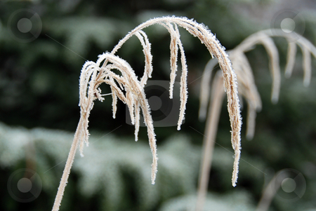 Grass covered with frost stock photo, Close-up of grass covered with frost by Gjermund Alsos