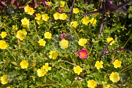 Moss Roses and Wandering Jews stock photo, A bed or bright Moss Roses with a few Wandering Jews. by Steve Carroll