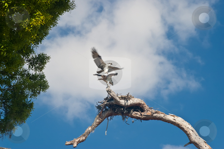 Pair of Nesting Osprey stock photo, Pair of nesting Osprey (Pandion haliaetus), sometimes known as the sea hawk, guarding their nest. by Steve Carroll
