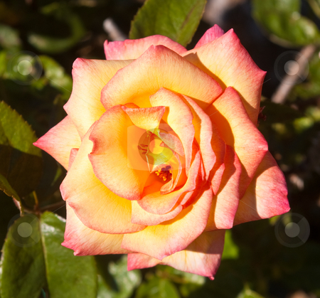 Variegated yellow and pink rose. stock photo, Close up of a variegated yellow and pink rose.  Palma Sola Botanical Garden by Steve Carroll