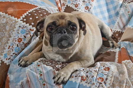Portrait of Female Pug Dog stock photo, Portrait of 1 year old female Pug dog by Steve Carroll